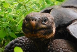 galapagosgs_by-elizabeth-angell-tortoise-4-2014-2015