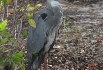 galapagosgs_by-kara-gordon-bird-2011