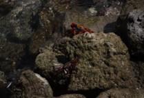 galapagosgs_by-kara-gordon-crabs-on-rock-2011-5