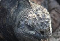 galapagosgs_by-kara-gordon-iguana-2011-2