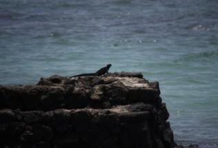 galapagosgs_by-kara-gordon-iguana-on-rock-2011