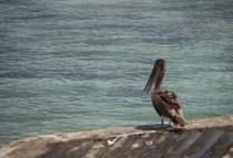 galapagosgs_by-kara-gordon-pelican-2011