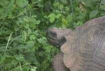 galapagosgs_by-kara-gordon-sea-turtle-2011-3