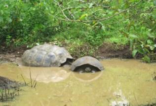 galapagosgs_by-kara-gordon-sea-turtles-in-mud-2011