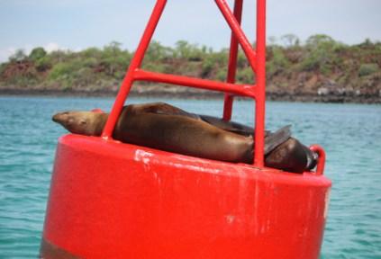 galapagosgs_by-kara-gordon-seal-on-bouy-2011-2