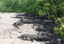 galapagosgs_by-kara-gordon-tons-of-iguanas-2011