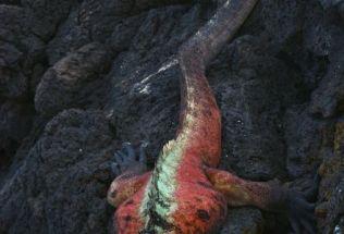 iguana10