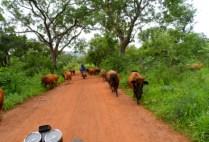 senegal-by-kisori-thomas-cows-in-the-road-2013