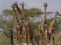 tanzaniags_by-alicia-davis-giraffe-2011