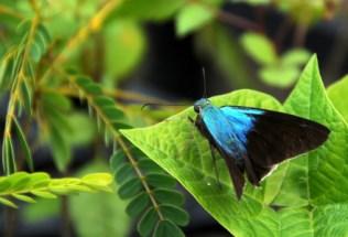 brazilgs_-by-tim-kittel-naz-nursery-borboleta-2013