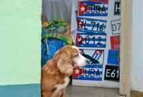 cubapoliticalgs_by-kaifa-roland-dog-in-souvenir-shop-2012