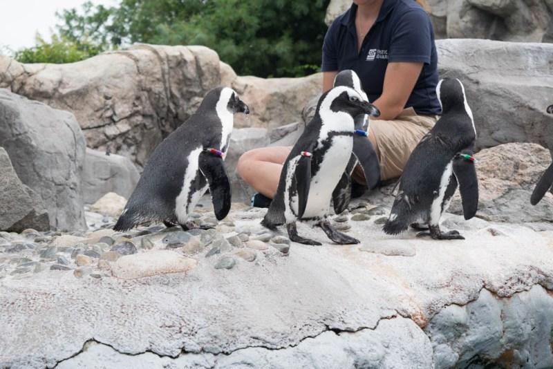 African penguins at Mystic Aquarium