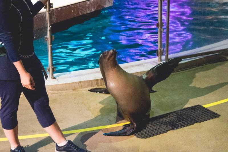 sea lion waving hello at the Mystic Aquarium sea lion show