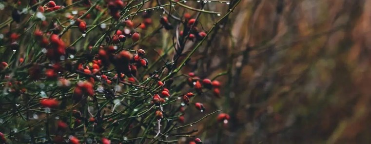 La cueillette de Cynorrhodons (gratte-cul) ne pos e pas de problème puisque l'églantier est un arbuste commun. Mais n'oubliez que les fruits sont une nourriture importante pour de nombreux animaux en hiver! Cueilleurs Sauvages.