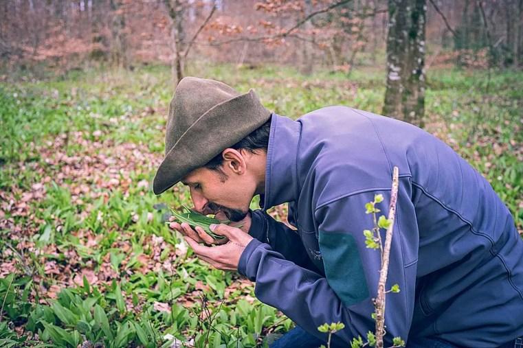 Sentir est un sens utile à utiliser pour déterminer une plante. Cueilleurs Sauvages.