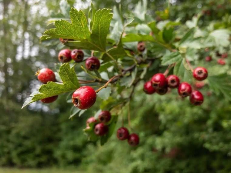 Fruit d'aubépine