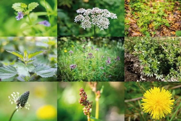 Les meilleures plantes sauvages comestibles selon Cueilleurs Sauvages
