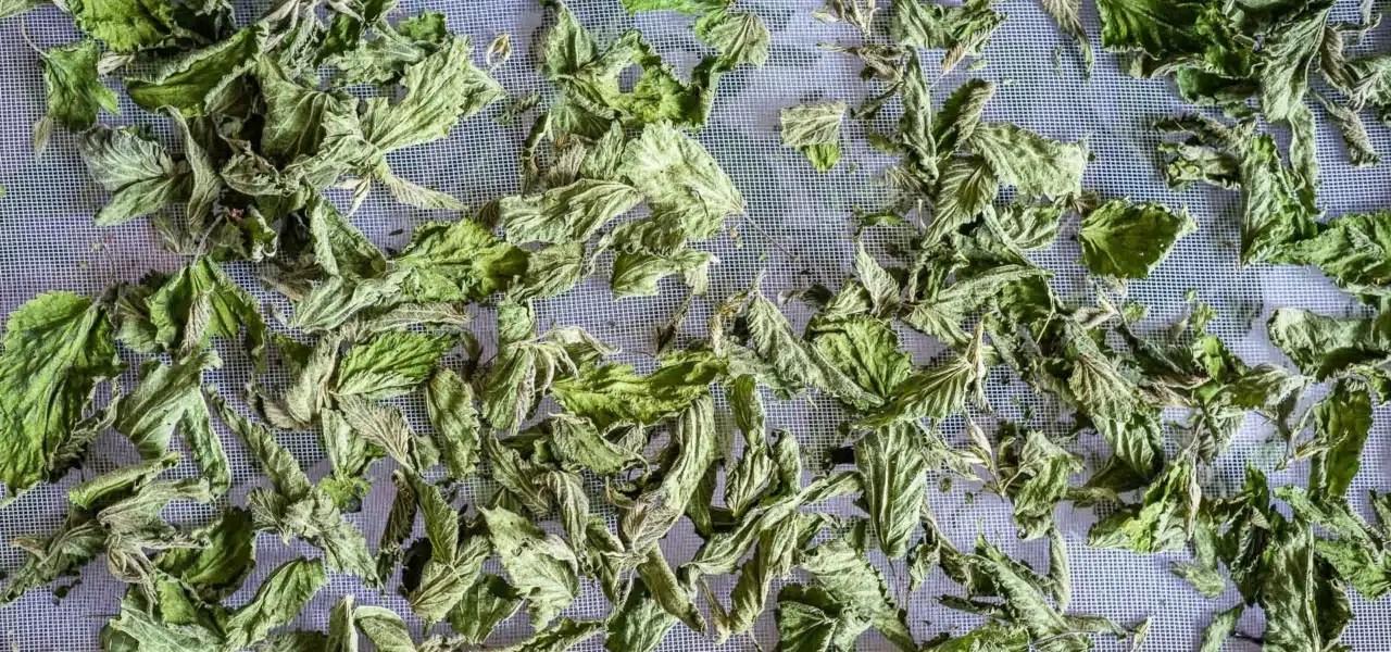 Séchage d'ortie sur des claies