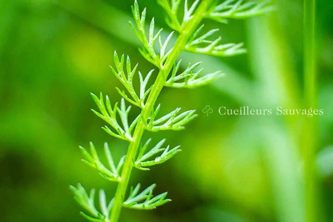 Achillea millefolium - Achillée millefeuille-feuilles - Cueilleurs Sauvages