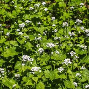 Alliaria petiolata - Alliaire officinale-habitat