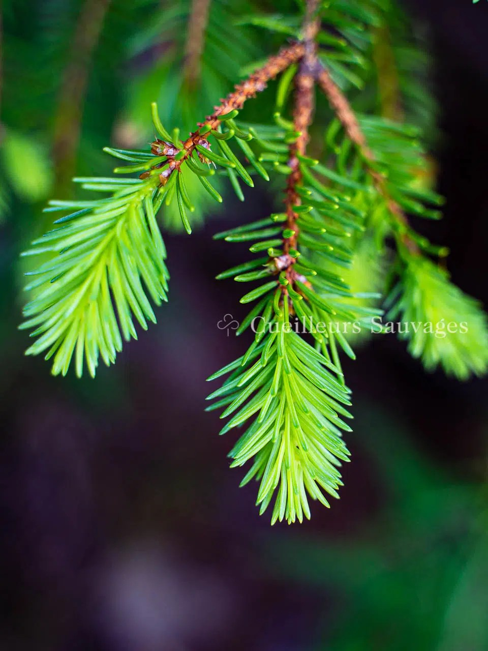 Picea abes - Epicéa commun - pousses