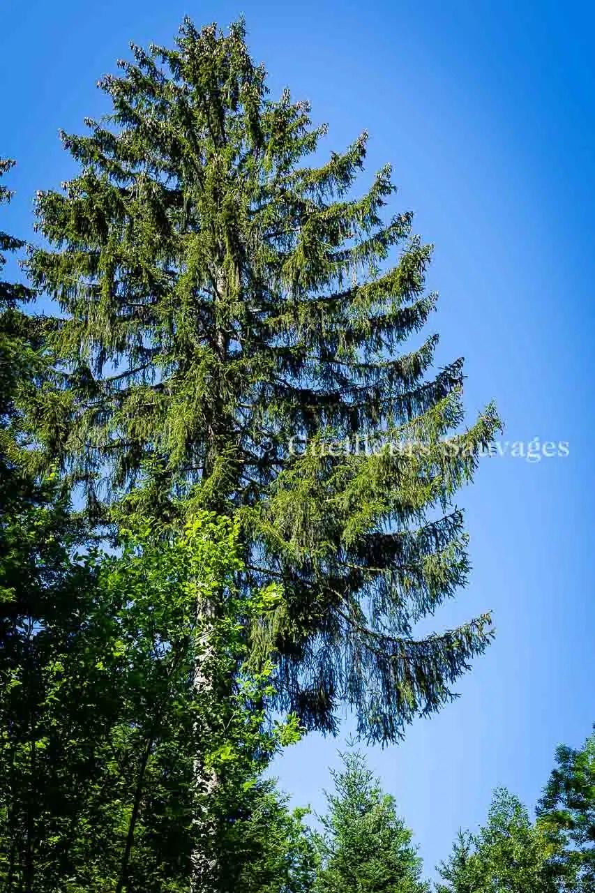 Picea abes - Epicéa commun - arbre