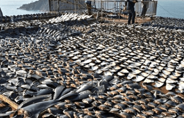 Police display shark fins that were confiscated from traffickers Wednesday in Manta.