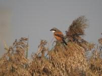 Long-tailed Skrike at Dheerpur Wetland Park (Credit: Shashank Bhardwaj)