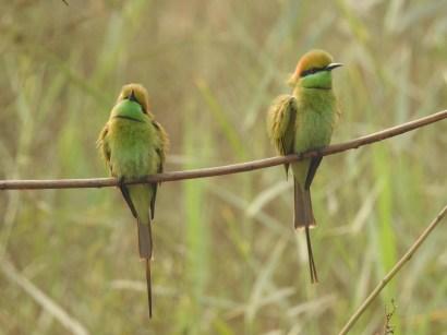 Green Bee-eater at Dheerpur Wetland Park (Credit: Amit Kaushik)