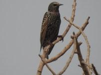 Eurasian Starling at Dheerpur Wetland Park (Credit: Fizala Tayebulla)