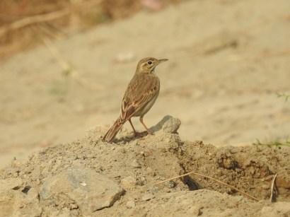 Paddyfield Pipit at Dheerpur Wetland Park (Credit: Fizala Tayebulla)