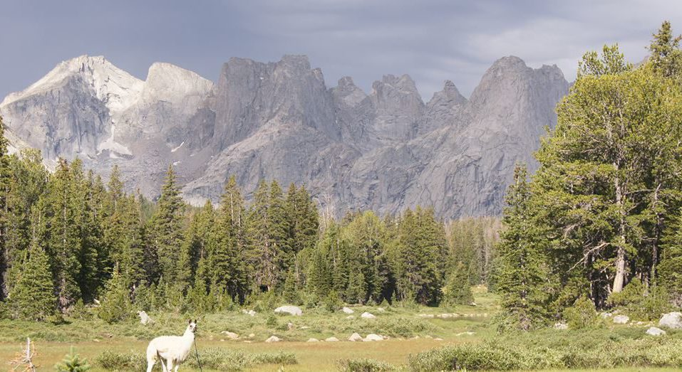 Llama trekking in Wyoming