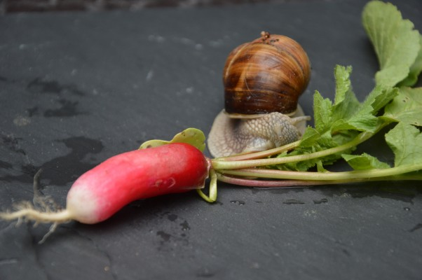 Radis-escargot