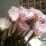 Un cactus llamado Flor de un día