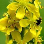 AGRIMONIA, flor de Bach