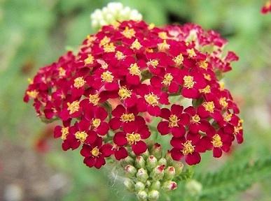 Milenrama, propiedades de una planta medicinal