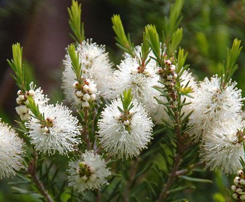 Tea Tree, árbol del té cuidasdeti.com