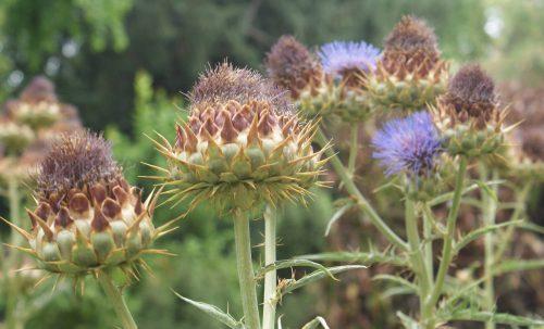 Beneficios de la alcachofa y propiedades curativas