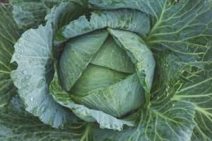 le chou, légume du mois de février