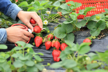 49858400 - picking strawberry in garden