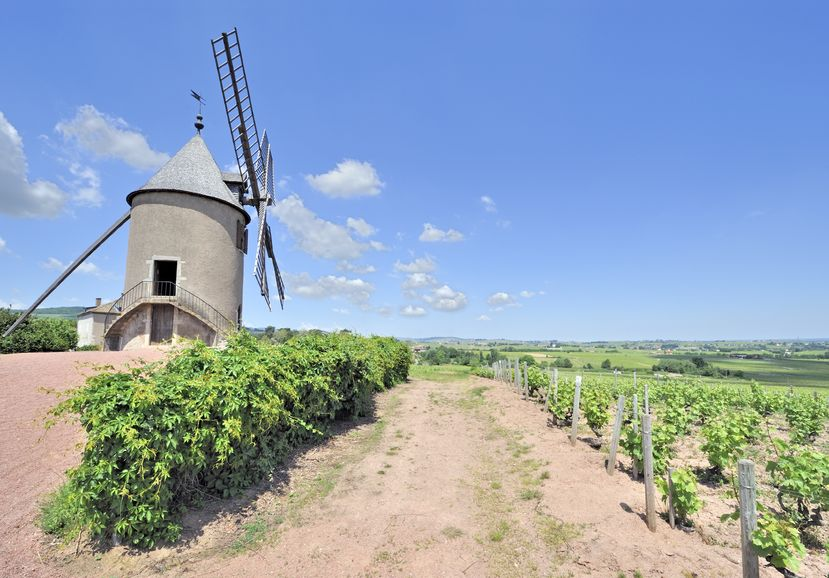 13924729 - windmill among vineyards in beaujolais region, france