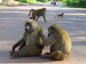 Tanzania–Baboons At Entrance To Ngorongoro Crater