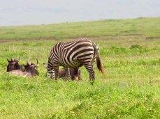 Tanzania–Ngorongoro Crater Coexistence2