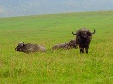 Tanzania Ngorongoro Crater Cape Buffalo