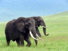 Tanzania, Ngorongoro Crater-Big-tusked Elephants