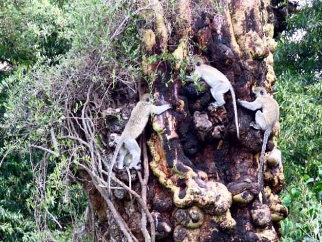 Tanzania Ngorongoro Crater Monkey Tree