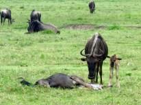 Tanzania Ngorongoro Crater– Wildebeest Maternity Ward