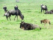 Tanzania Ngorongoro Crater Wildebeest Baby Stands