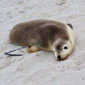 Kangaroo Island,Seal Bay pup