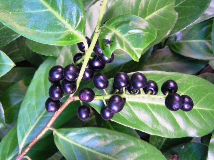 Prunus laurocerasus, common laurel, cherry laurel, English laurel, leaves and berries